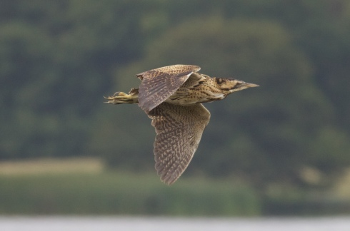Bittern dropping into Heslops