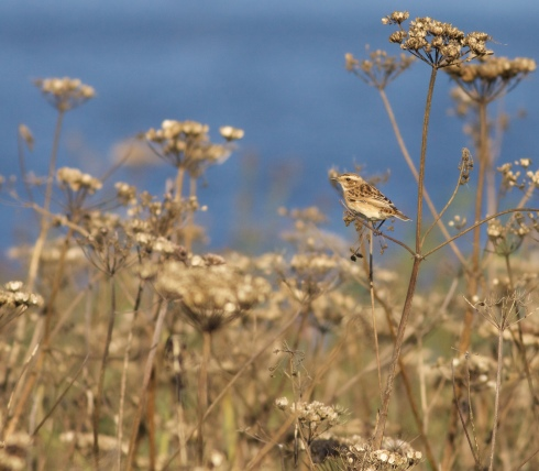 Whinchat on KP