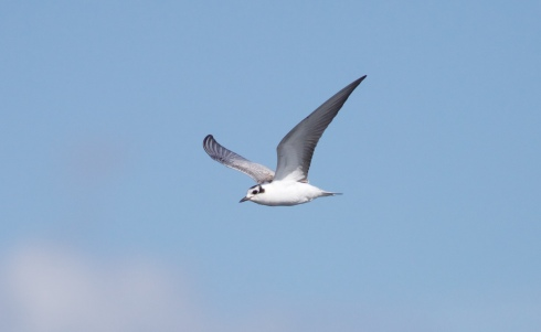juv White-winged Black Tern