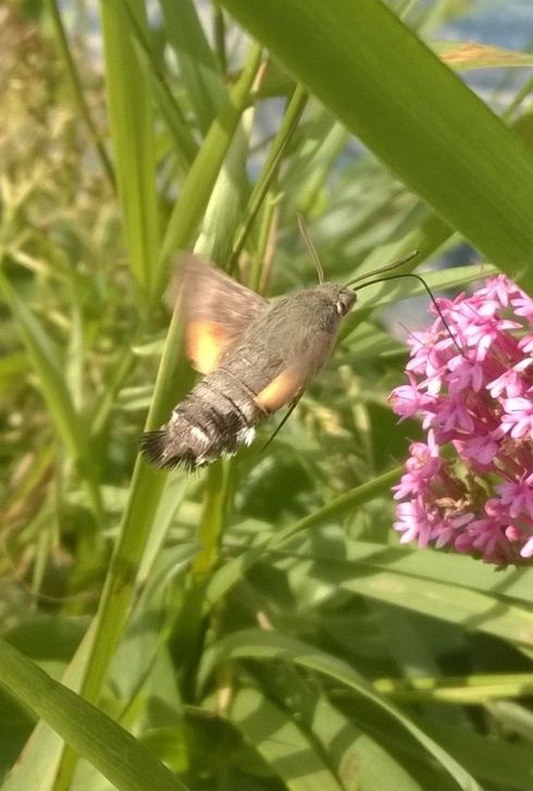 Hummingbird Hawkmoth - Tim Isherwood