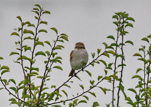 Red-backed Shrike - Rich Willison