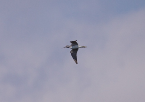 Greenshank through Decoy