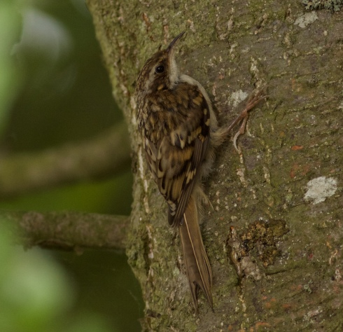 Treecreeper from Wassand Hide