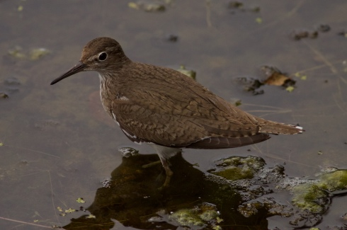 Common Sandpiper from Wassand Hide