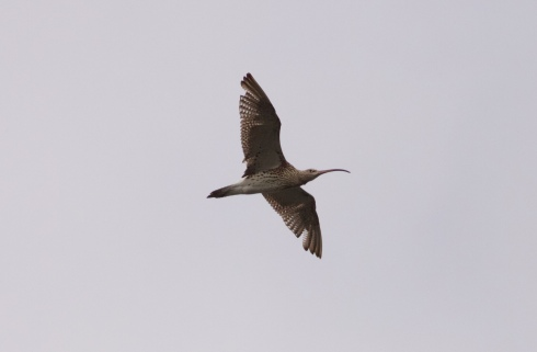 Curlew over Decoy
