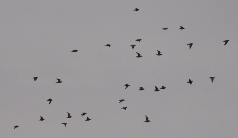 Golden Plovers over Mere