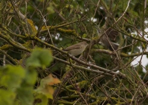 Garden Warbler at Cowden