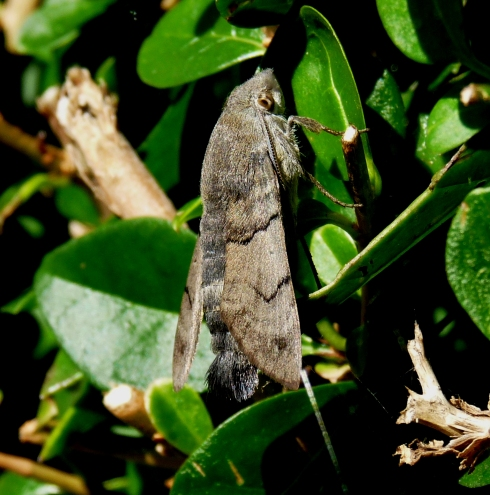 Hummingbird Hawkmoth - Ade Johnson