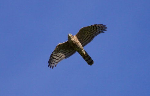 Sparrowhawk near Ouzel Hedge