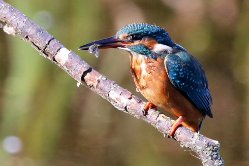 Kingfisher from Wassand Hide - Chris Cox