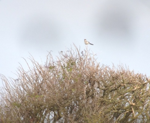 Great Grey Shrike at Rolston - Graham Russell
