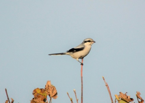 Great Grey Shrike - Alan Elkin