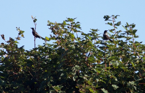 Ring Ouzels at Cowden