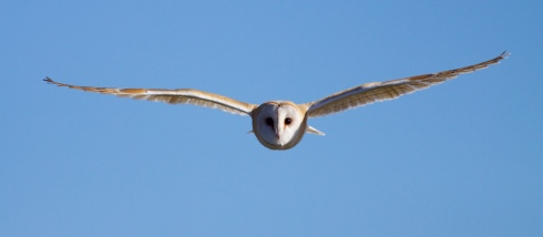 Barn Owl at Cowden