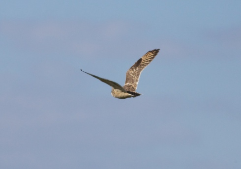 Short-eared Owl over 3rd field/Heslop's
