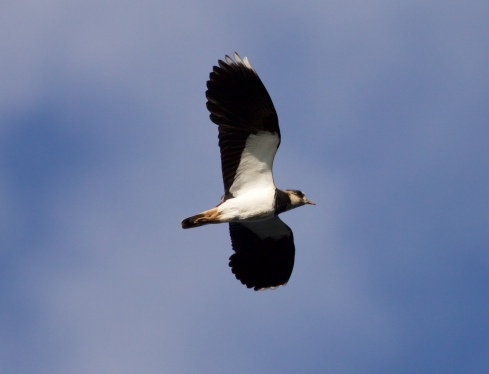 Lapwing over 2nd field