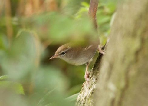Cetti's Warbler from Wassand hide