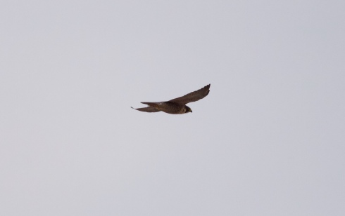 Peregrine south at Cowden