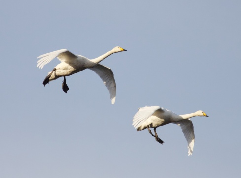 Whooper Swan's from Wassand hide