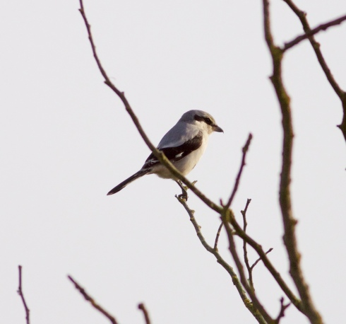 Great Grey Shrike - Ouzel Hedge