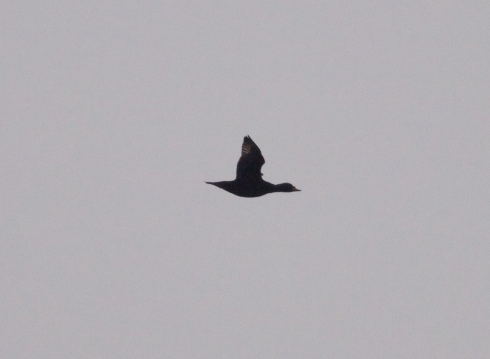 drk Common Scoter over East end