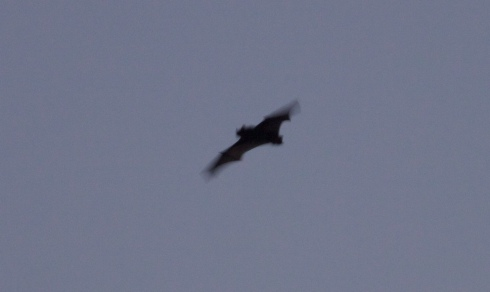 Noctule Bat in near darkness over 1st field