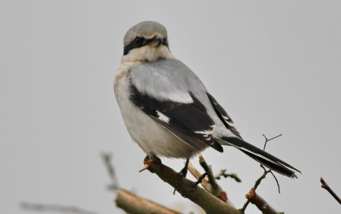 Great Grey Shrike at Ouzel Hedge - Rich Willison
