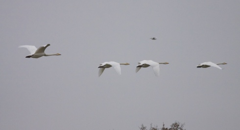 Whooper's over 2nd field