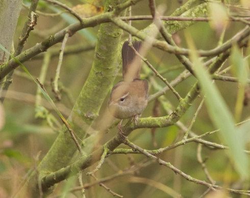 Cetti's Warbler around Heslop's