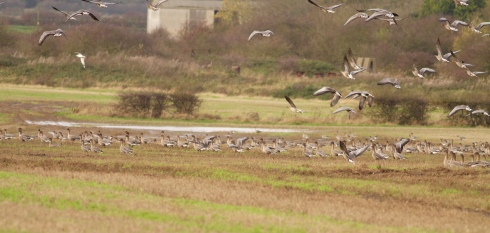 a fraction of the Pink-feet at Aldbrough, white collared bird 3rd from left