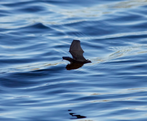Daubenton's Bat from Wassand hide