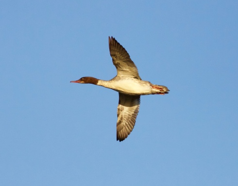 Goosander off 1st field, also known by Hornsea folk as Goosnars!