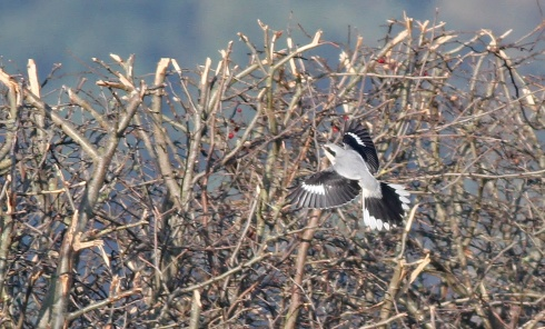 Great Grey Shrike - Rich Willison