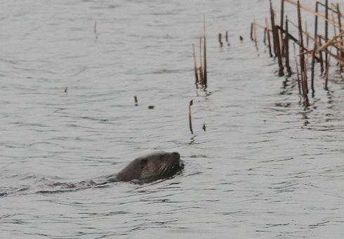 Otter from Wassand hide - Simon Pugh