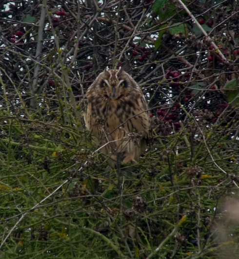 Short-eared Owl at Cowden - Ade Johnson