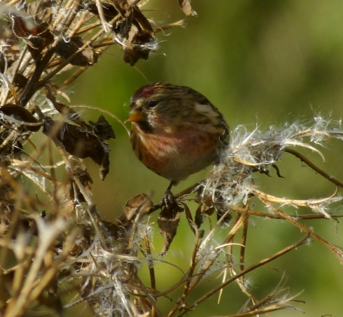 Lesser Redpoll at Aldbrough - Ade Johnson