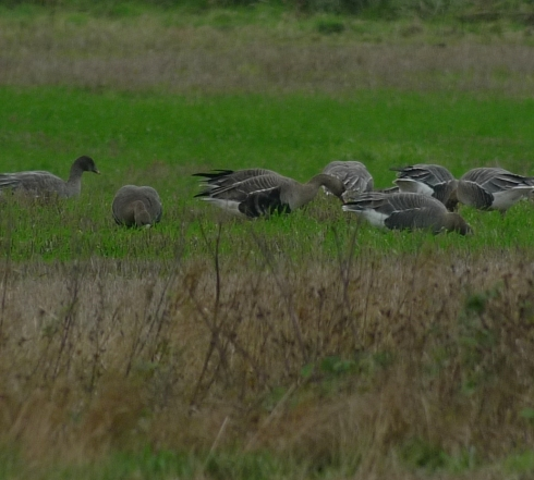 White-fronted Geese at Aldbrough - Ade Johnson