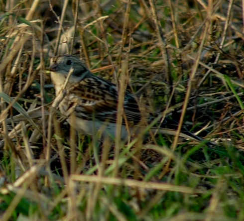 Lapland Bunting at Aldbrough - Ade Johnson