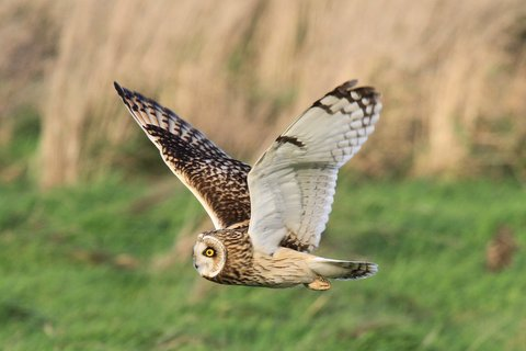 Short-eared Owl at Aldbrough - Rod Yeoman