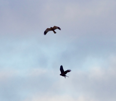 Marsh Harriers from Wassand Hide