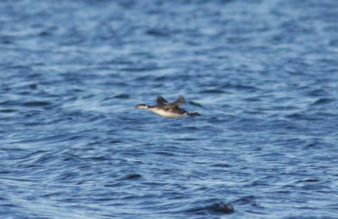 Slavonian Grebe off 2nd field