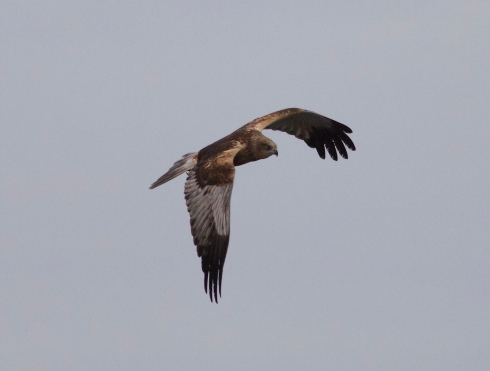 male Marsh Harrier from Wassand Hide