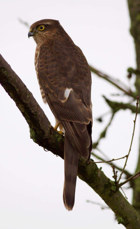 confiding Sparrowhawk in Wassand