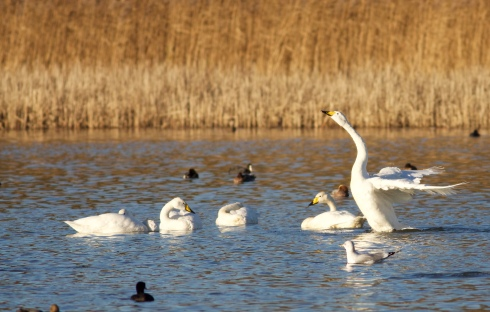 Whooper Swans from Wassand hide
