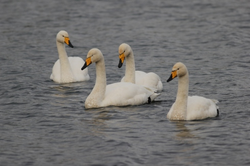 Whooper Swans from Wassand Hide - Jeff Cox