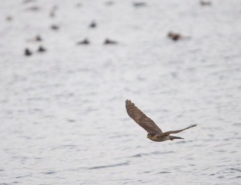 Sparrowhawk through Decoy - Simon Pugh