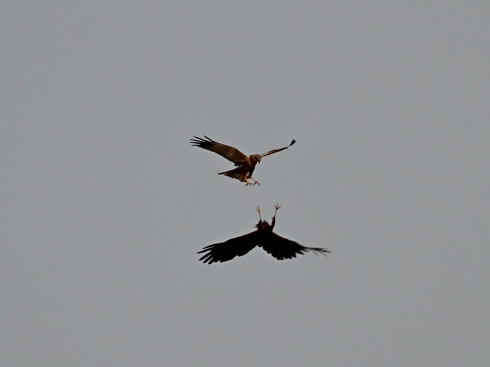 Marsh Harriers from Wassand Hide - Jeff Cox