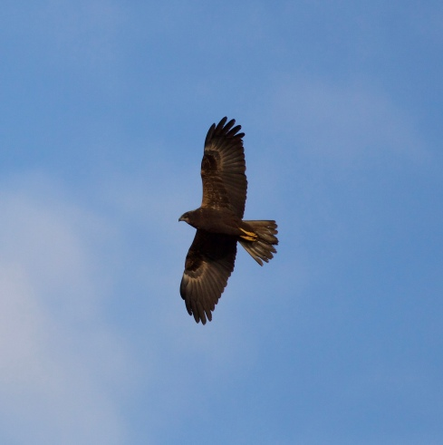 Marsh Harrier from Wassand Hide