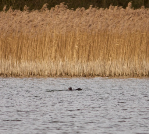 Otter's from Wassand Hide