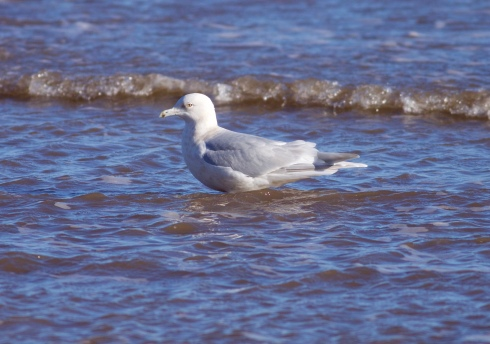Kumlien's Gull at Barmston